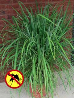 Mosquito Grass Plant
